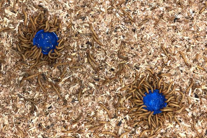 Investigan en Galicia la mejora de abonos ecológicos a través de insectos