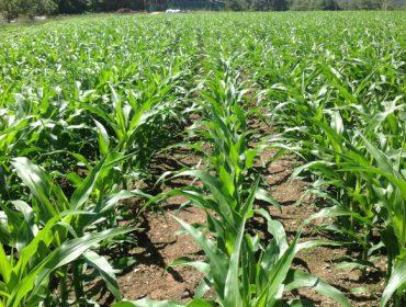 Monsoon Active:  El nuevo herbicida de Bayer para el cultivo de maíz