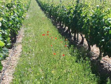 ¿Qué especies emplear para tener cubiertas vegetales en el viñedo?