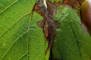Recomiendan proteger las viñas contra la botritis tras los daños de las fuertes lluvias