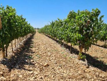 'Septum', una alternativa eficaz para reducir el uso de cobre en el control de mildiu en viña
