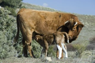 De Heus lanza un nuevo programa nutricional para optimizar el ciclo reproductivo de las vacas nodrizas
