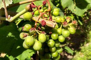 Advierten sobre los primeros daños por golpes de calor en el viñedo