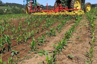 Jornada en Boimorto sobre control de malas hierbas en el maíz en ecológico