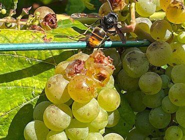 Comienzan los primeros daños de la avispa asiática en los viñedos de Pontevedra