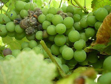 Recomendaciones para el cuidado de la viña durante esta semana
