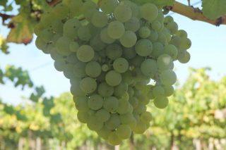Aconsejan mantener vigiladas las viñas ante daños de mildiu y botritis