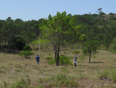 Una investigación estudia la resistencia a la sequía de pinos gallegos
