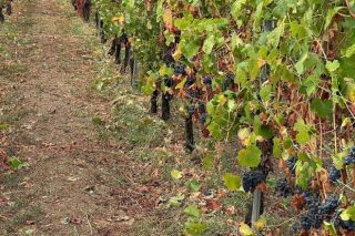 """Los viticultores de la DO Ribeiro tras el granizo: """"Hay parcelas en las que se va a perder toda la cosecha"""""""