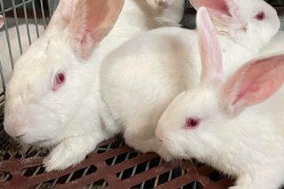 Un nuevo programa nutricional para la cría de conejos centrado en la salud intestinal