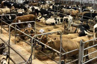 Precios del ganado en Silleda de esta semana
