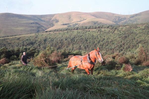 Tracción animal moderna para la conservación de hábitats en la Serra do Xistral