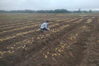 El Centro de Desarrollo Agroganadero del Inorde y Neiker colaboran en la investigación de futuras variedades de patata