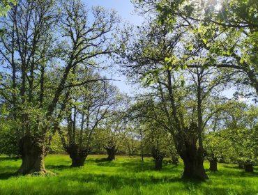 Greencastanea, biotecnología para optimizar la producción de castaños y mejorar su rentabilidad