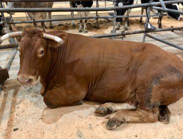 Precio récord por una vaca de raza Rubia Gallega en Silleda: 5627 euros